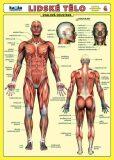 Lidské tělo - Přehled orgánových soustav - Svalová soustava - Petr Kupka
